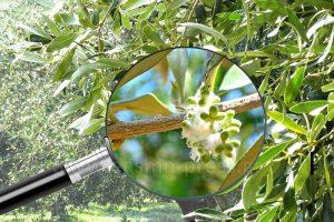 Προειδοποιήσεις Φυτοπροστασίας Ελιάς για Βαμβακάδα, Πυρηνοτρήτη,  Γλοιοσπόριο | easmn-press.gr