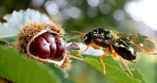 Αποτέλεσμα εικόνας για έντομο Dryocosmus kuriphilus
